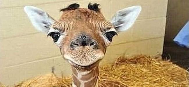 baby giraffe 650x300