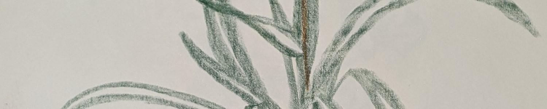Spider Plant Sketch - Sandra Burns Art