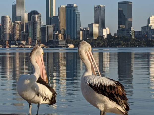 Pelicans of South Perth | Sandra Burns Photography